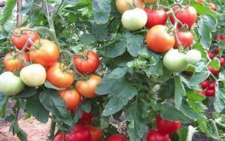 Характеристика и описание сорта томата интуиция, его урожайность