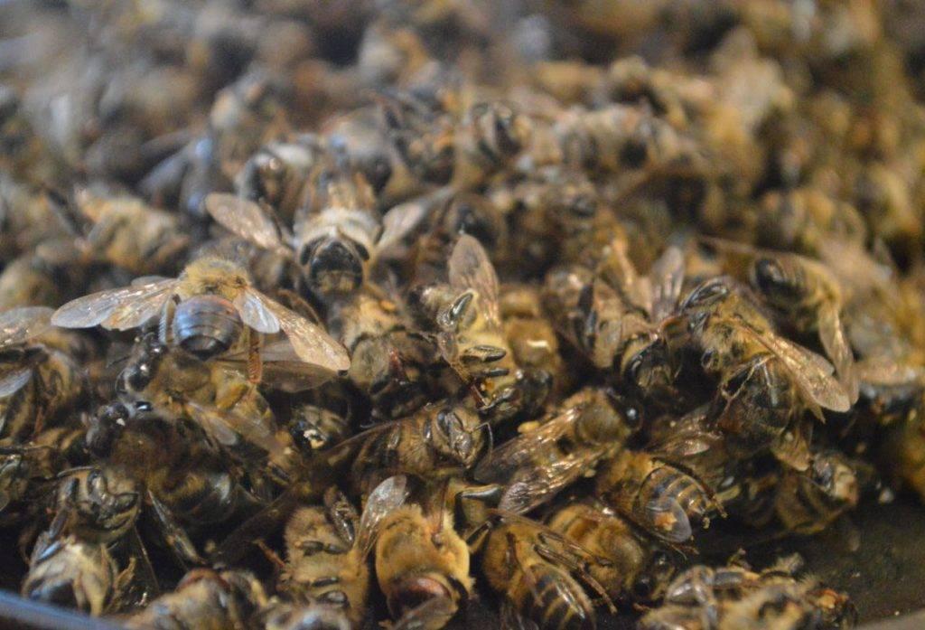 Применение настойки из пчелиного подмора