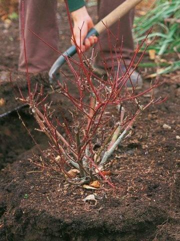 Как правильно посадить гортензию метельчатую весной в открытый грунт