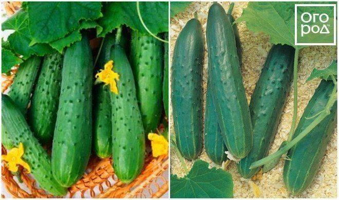 Описание партенокарпических огурцов. как их правильно выращивать?