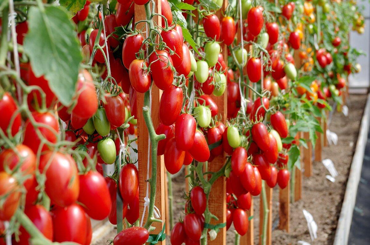 Томат царское искушение: фото, отзывы, урожайность, характеристика и описание сорта