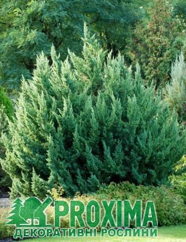 Можжевельник китайский спартан (juniperus chinensis spartan)