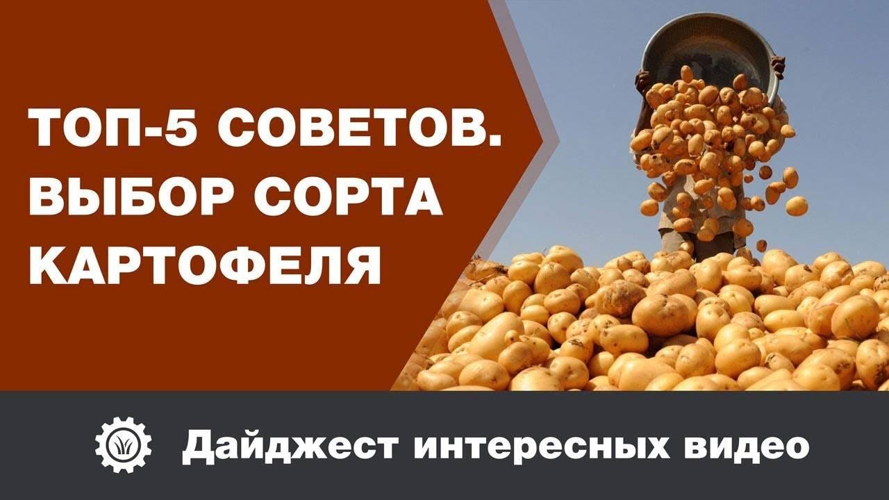 Картофель Рагнеда