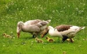 Серые гуси: описание, виды, уход и размножение