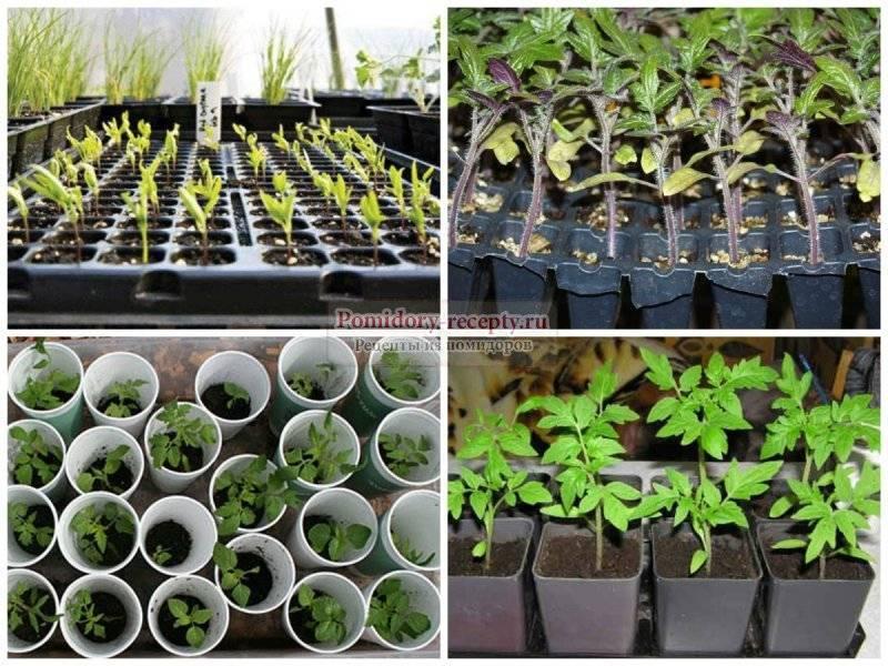 Как вырастить рассаду помидор в домашних условиях: от посева семян до высадки в грунт