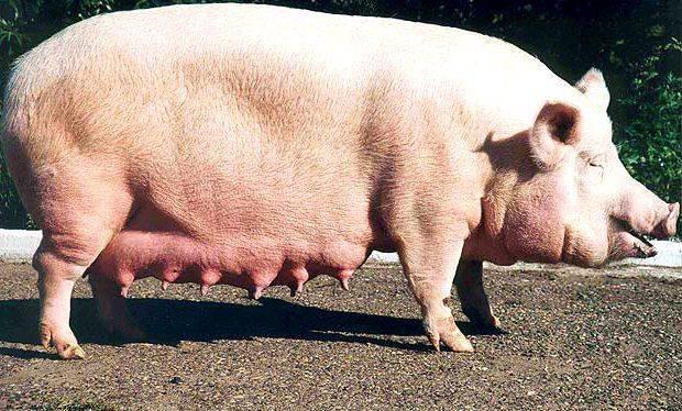 Супоросная свинья: сроки, содержание и кормление
