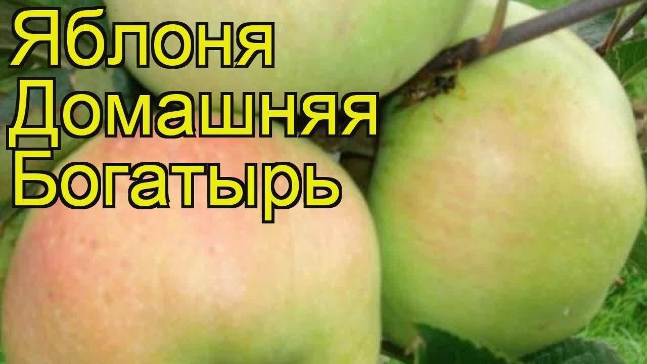 Характеристика и описание яблони «богатырь»