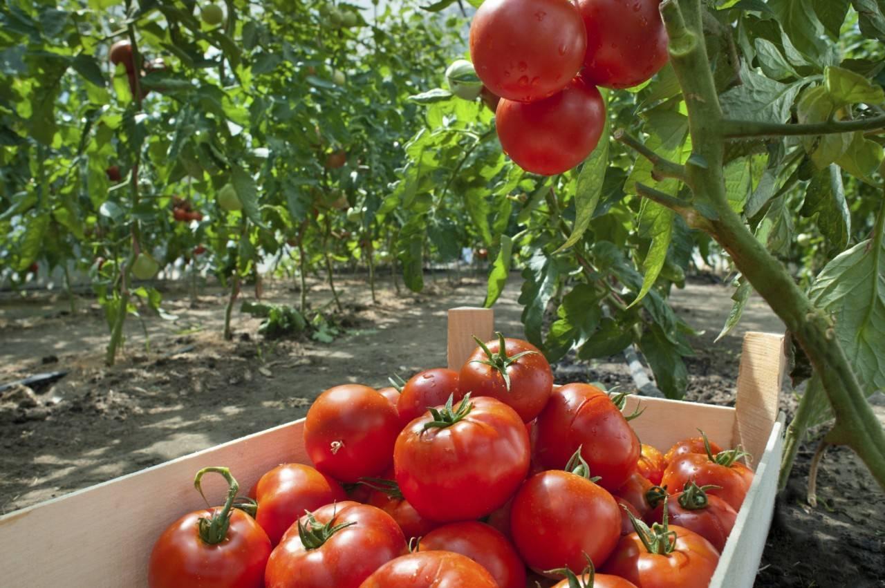 Обильные урожаи красивых плодов — томат денежный мешок: характеристики сорта и описание