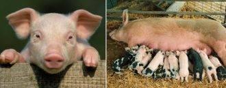 Бизнес-план по разведению свиней - инструкция по составлению + расчеты!