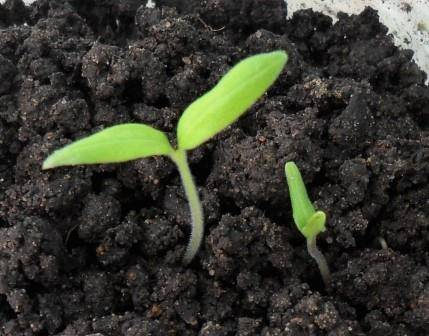 Что делать, когда плохо растет рассада помидор