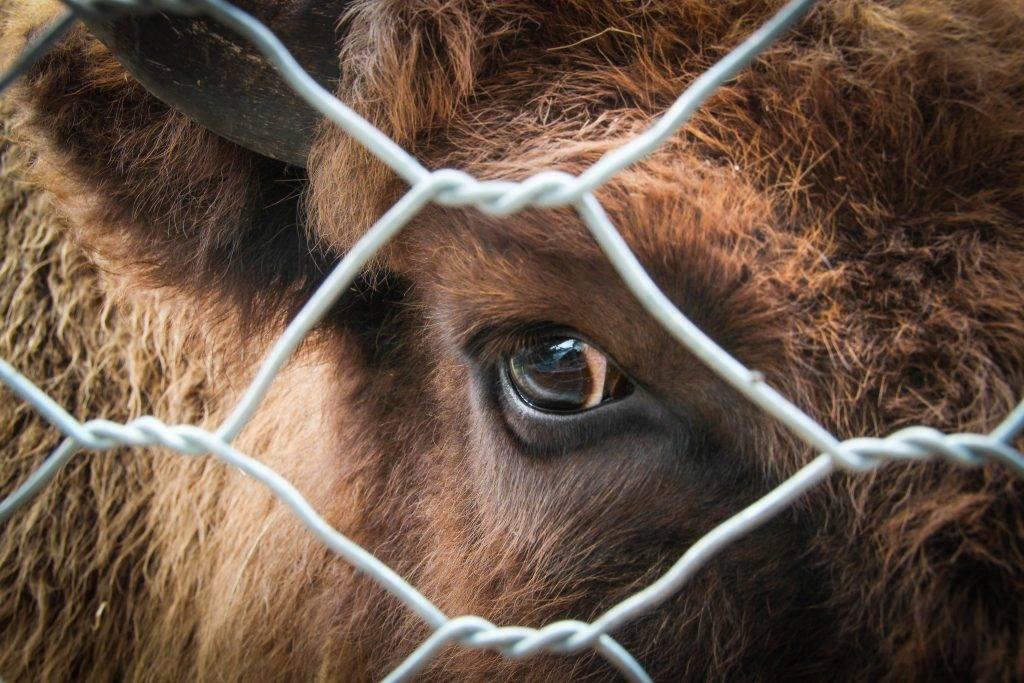 Лептоспироз у коров: ветеринарные правила, профилактика