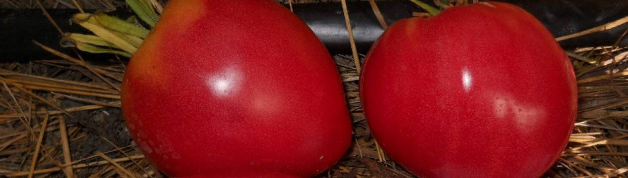 Сорт томатов орлиный клюв: описание, выращивание, отзывы дачников