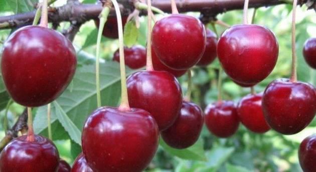 Описание и характеристика вишни сорта «владимирская»