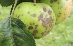 Как бороться с паршой на яблоне: обработка и лечение препаратами