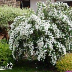 Спирея - лиственные деревья и кустарники - декоративные деревья и кустарники - greeninfo.ru
