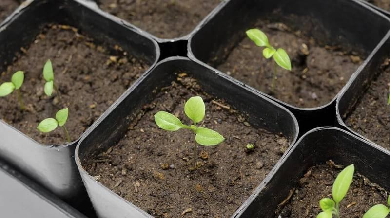 Сроки посева баклажан семенами на рассаду в марте 2020 году по фазам луны