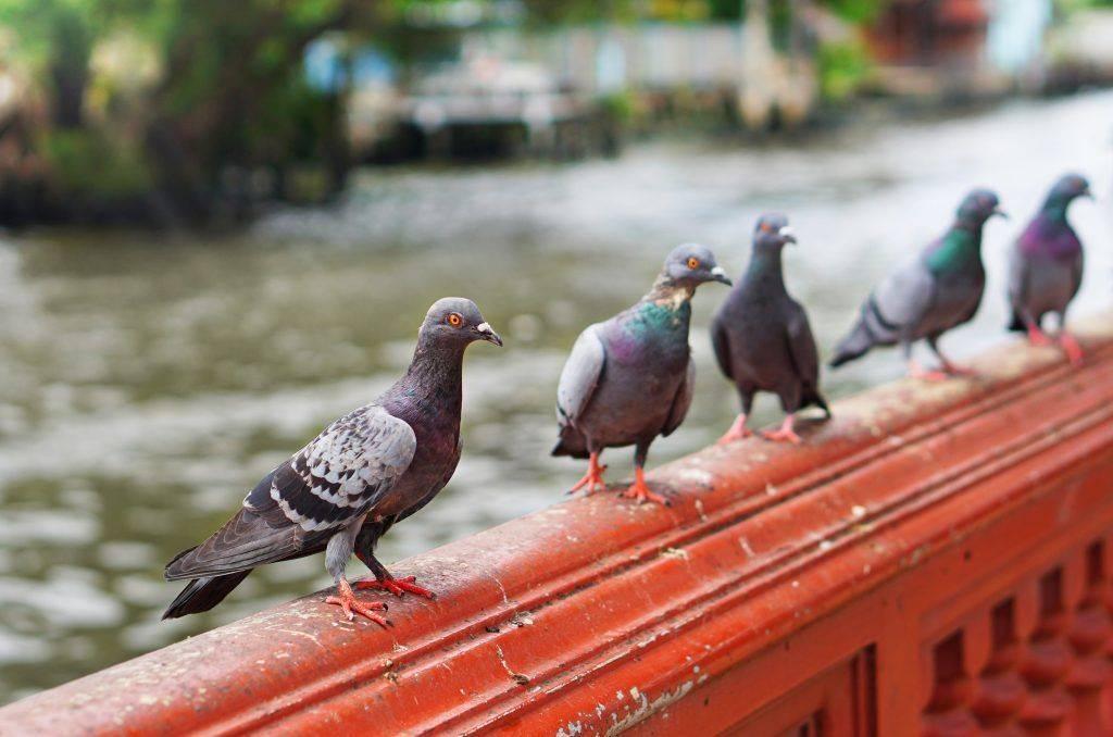 Как лечить болезнь голубей вертячку