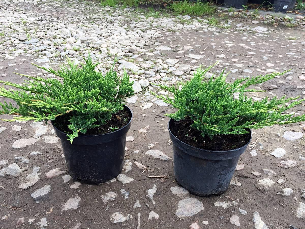 Комнатный можжевельник (25 фото): можно ли выращивать его дома в горшке? уход за ним в домашних условиях. грунт для можжевельника в квартире