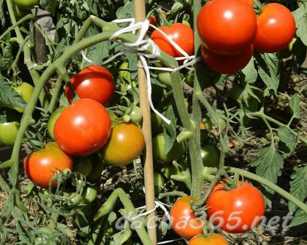 Сортовые особенности томата интуиция