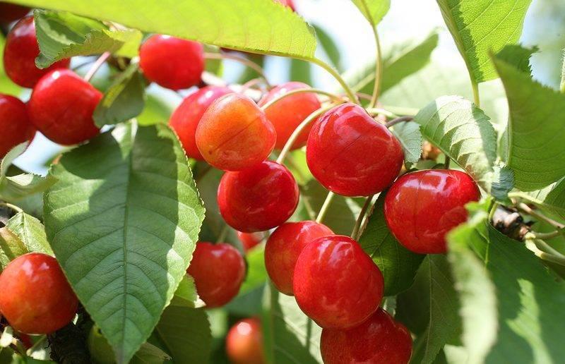 Правила и особенности осенней обрезки персика