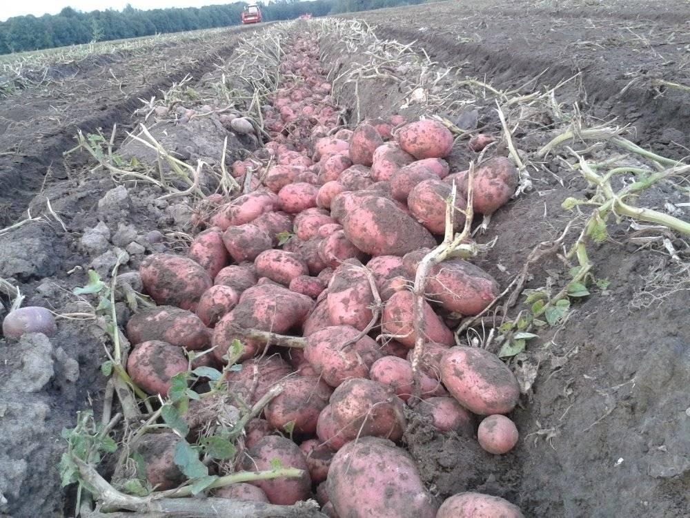 Немецкий картофель розара: ранний сорт, неприхотливый в уходе