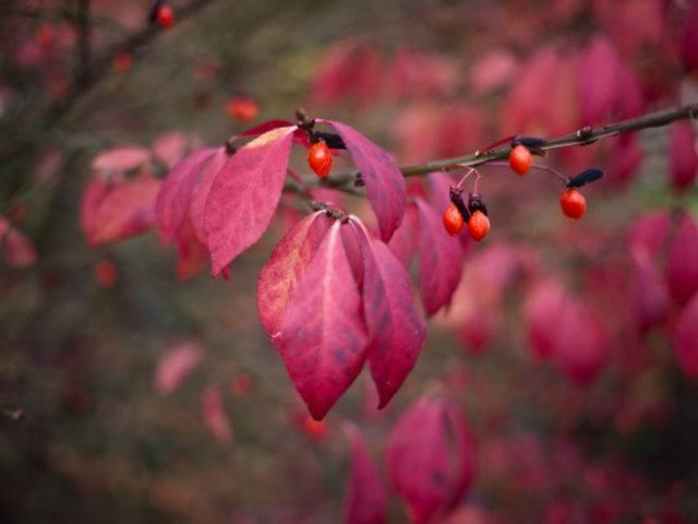 Сорта бересклета форчуна — применение, посадка, уход и размножение