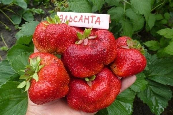 Клубника эльсанта — идеальный сорт сладкой ягоды
