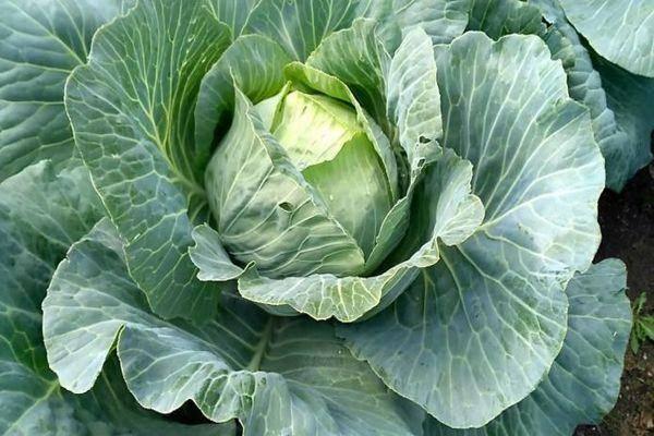 Король известных разновидностей капусты крауткайзер f1: общий вид, агротехника, отзывы