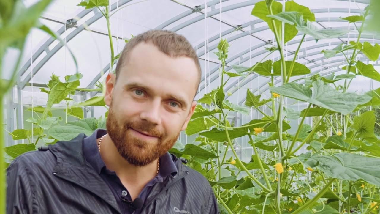 Что такое партенокарпические сорта огурцов и как их выращивать?