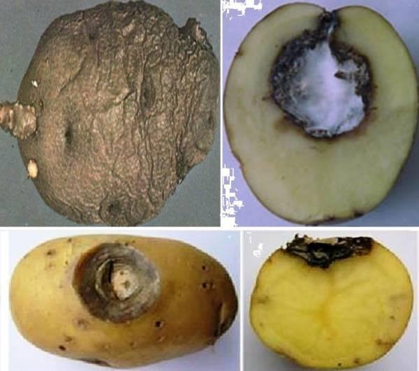 Чем лечить картошку от сухой гнили, бурой, мокрой и кольцевой