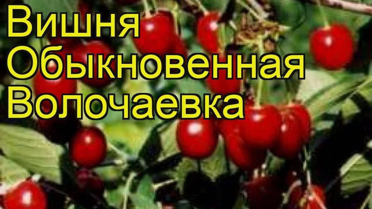 Вишня волочаевка: описание сорта, посадки, уход, выращивание
