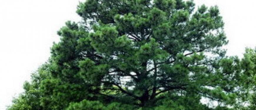 Сосна горная карстенс винтерголд (pinus mugo carsten wintergold)