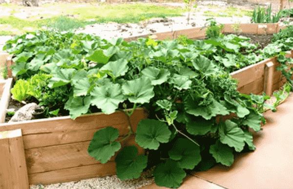 Тыквенные семечки — как прорастить семена тыквы для посадки