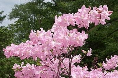 Посадка и уход за рододендроном катевбинским: описание градифлорума