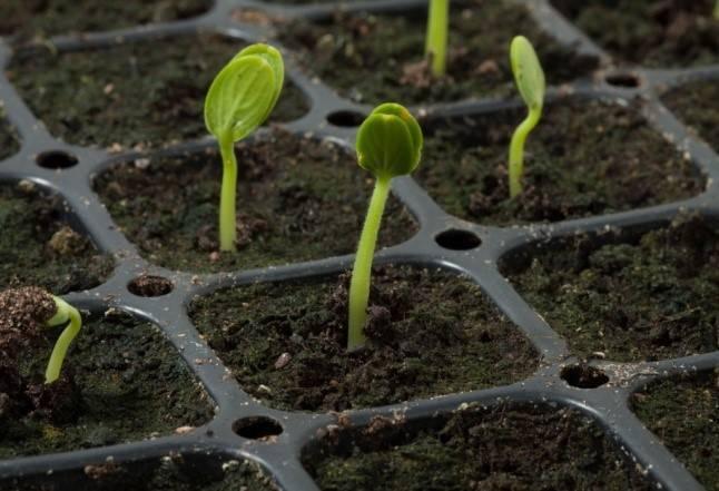 Как вырастить дыню из семян в домашних условиях