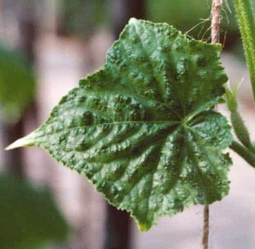 Почему листья огурцов сильно скручиваются?