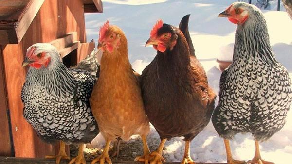 Курицы-несушки: породы, их описания с фото. лучшие породы кур-несушек