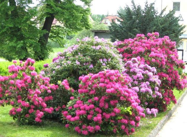 Рододендрон (rhododendron) — описание, выращивание, фото | на leplants.ru