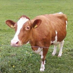 Лептоспироз у коров: симптомы и лечение