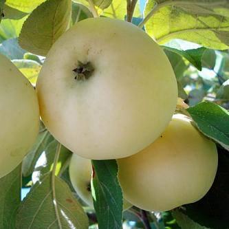 Яблоня белый налив – отличный выбор начинающего садовода