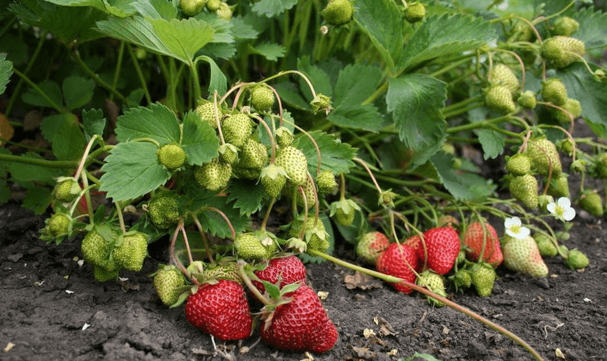 Особенности выращивания сорта клубники корона