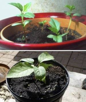 Способ выращивания черешни из косточки в домашних условиях