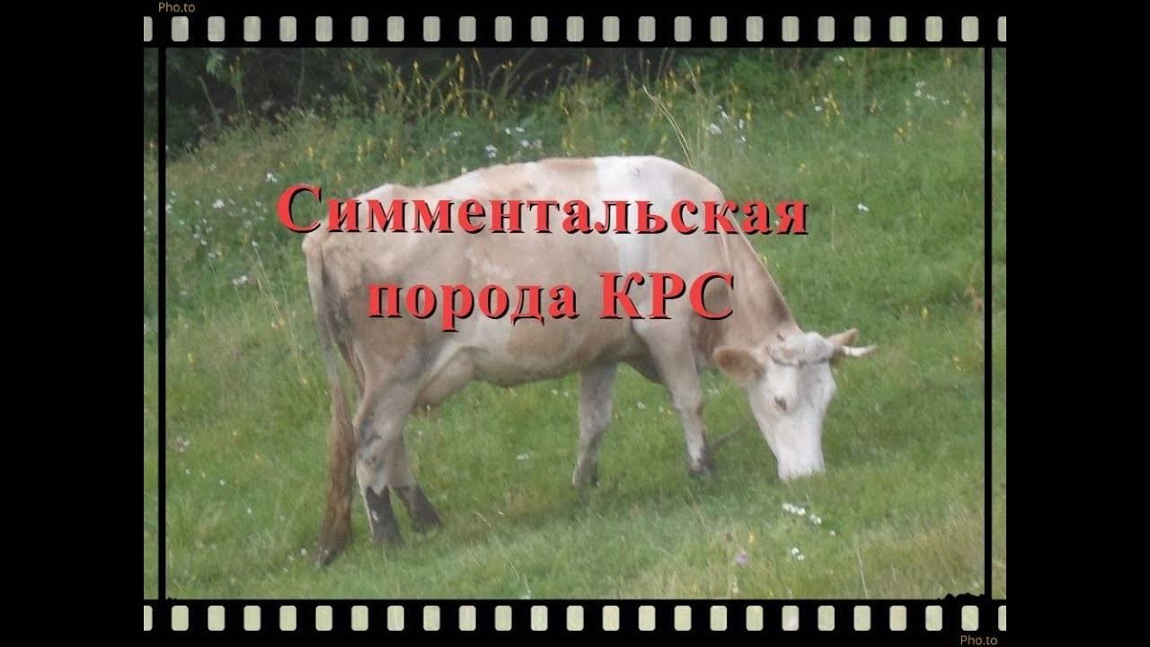 Холмогорские породы коров – лучшие молочники