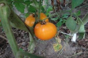 О помидорах кумато: описание сорта, характеристики томатов, посев