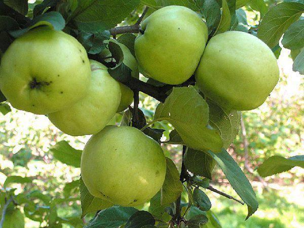 Яблоня сорта антоновка: виды, особенности выращивания, урожайность и зимостойкость - общая информация - 2020
