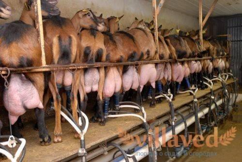 Как и чем лечить мастит у коровы в домашних условиях?