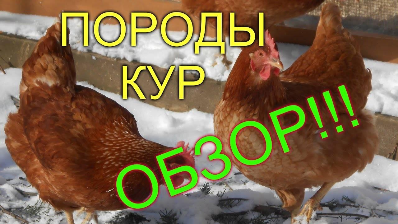 Кубанская красная порода кур — описание с фото и видео, отзывы