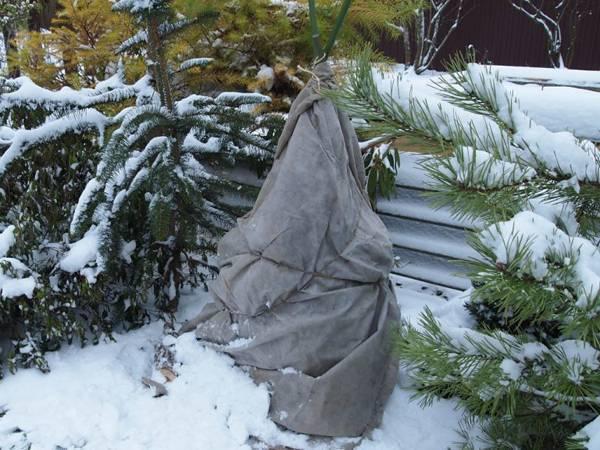 Осенний уход за рододендроном и подготовка его к зиме