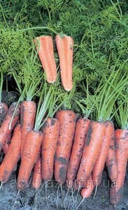 Морковь нандрин f1: описание, фото, отзывы