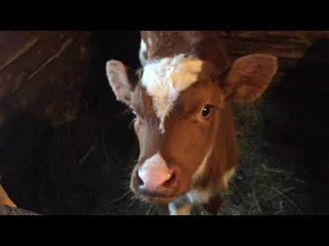 Дерматит у коров